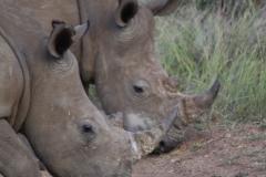 Grandma Rhino
